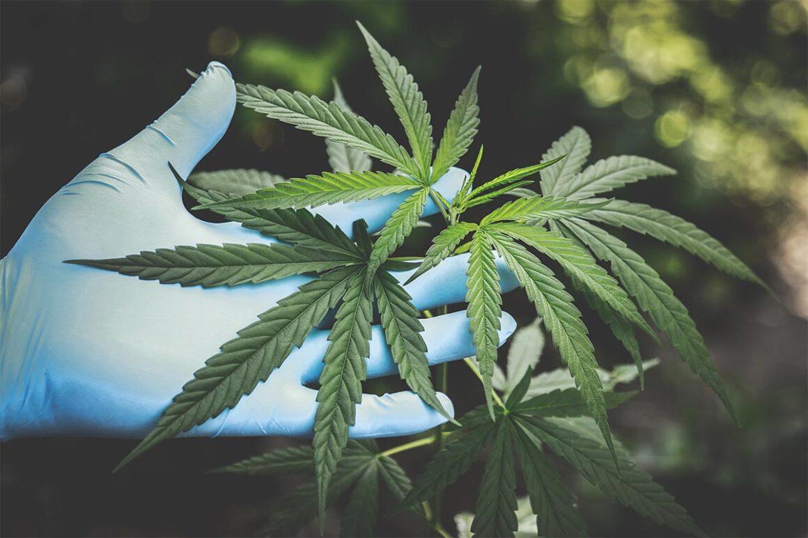La marihuana: un negocio de 10 mil millones